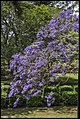 Jacaranda in Grafton Park-1 (22480921140).jpg