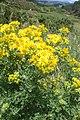 Jacobaea vulgaris kz2.jpg