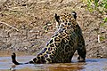Jaguar (Panthera onca) male out of the water (29140077596).jpg