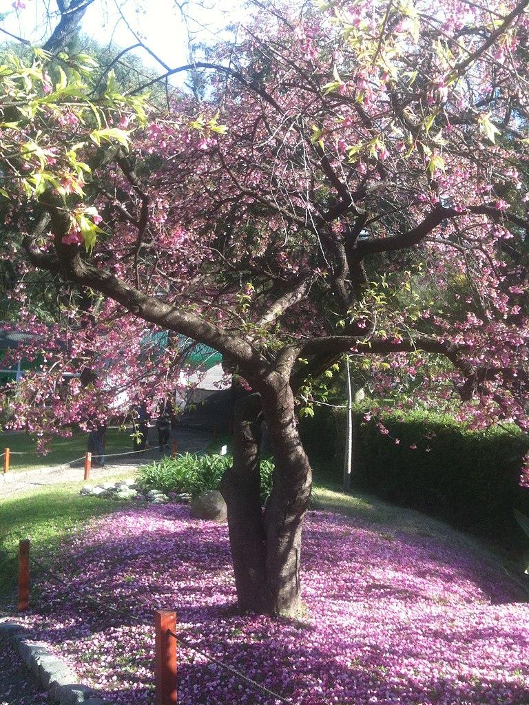 File jardin japones arbol jpg wikimedia commons for Arboles para jardin japones