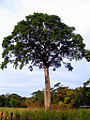 Jatoba gigantesco.jpg