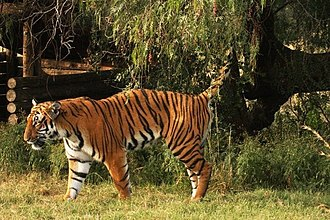 Territory (animal) - A male South China tiger scent-marking his territory