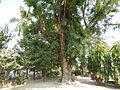 Jf9408Pterocarpus indicus Lubaofvf 23.JPG