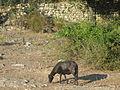 Jielbeaumadier mouton noir corte 2006.jpeg