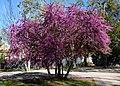 Judas tree (33424813700).jpg
