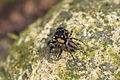 Jumping spider from Ecuador (17394461452).jpg