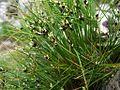 Juncus trifidus a4.jpg
