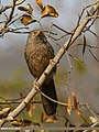 Jungle Babbler (Turdoides striata) (34149832730).jpg