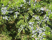 Juniper berries q.jpg