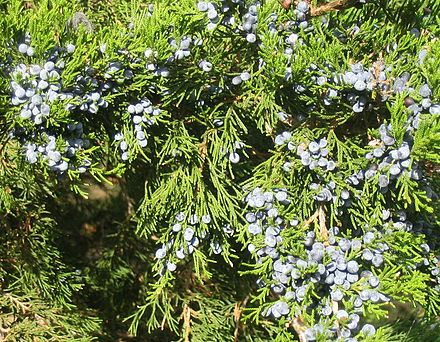 Juniperus virginiana foliage and mature cones Juniper berries q.jpg