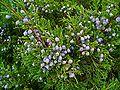 Juniperus sabina 003.JPG