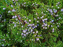 Des vertus des plantes par Macer Floridus, 1832 220px-Juniperus_sabina_003