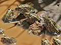Juvenile African Bullfrogs (Pyxicephalus edulis) (6045769166).jpg