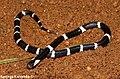 Juvenile Ceylon Krait.jpg