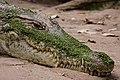 Kachikally crocodile.jpg