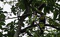 Keel-billed Toucan - Flickr - GregTheBusker.jpg