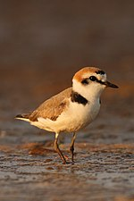 Kentish Plover David Raju (cropped).jpg