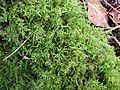 Kindbergia praelonga 99517362.jpg