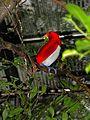 King Bird-of paradise Cicinnurus regius (7116195241).jpg