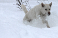Kishu Ken in the Snow.png