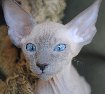 English: If you don't have a Peterbald you jus...