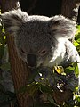 Koala at Currumbin Wildlife Sanctuary - Currumbin - Queensland - Australia - 02 (35104911333).jpg