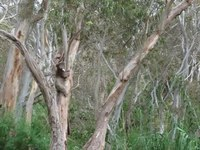 Файл:Koala climbing tree off Montacute Road near Adelaide.ogv