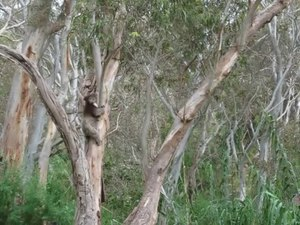 File:Koala climbing tree off Montacute Road near Adelaide.ogv