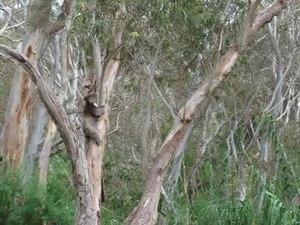 File:Koala climbing tree off Montacute Road near Adelaide.ogv