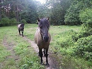Roztocze National Park - Image: Konik polski 1
