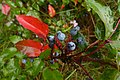 Korina 2014-08-29 Mahonia aquifolium 1.jpg