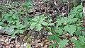Korina 2018-09-01 Quercus rubra 5.jpg