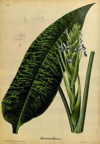 L'Illustration horticole (Plate 177).jpg