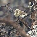 Lövsångare - Willow warbler (Phylloscopus trochilus) - Flickr - Ragnhild & Neil Crawford.jpg