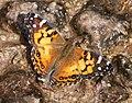 LADY, PAINTED (Vanessa virginiensis) (10-3-11) garden canyon, huachuca mts, cochise co, az -01 (6210086142).jpg