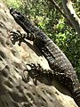 Lace Monitor (Glenrock State Conservation Area).jpg