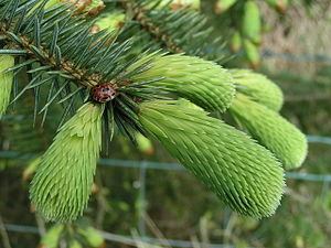 Spruce beer - Spring growth on a spruce tree