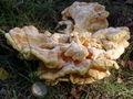 Laetiporus sulphureus bialowieza 2 beentree.jpg