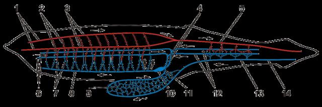 File Lancelet S Circulatory System Scheme Png Wikimedia