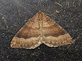 Larentia clavaria (15170871910).jpg