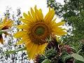 Late Summer Sunflower 3 (11488577654).jpg