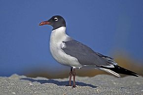 Laughing Gull in Mating Plumage.jpg
