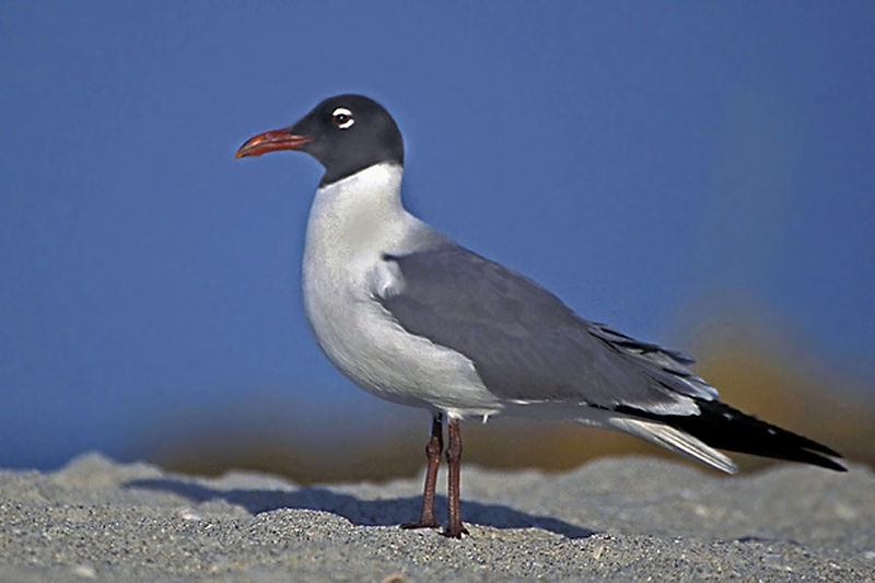 800px-Laughing_Gull_in_Mating_Plumage.jp