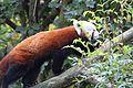Le Pal - 2016.10.23 - Pandas roux 5.jpg