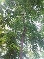 Leaves and trees palavangudi jpg 42.jpg