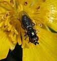 Lejogaster metallina2.jpg
