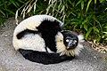 Lemur (26619023407).jpg