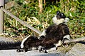 Lemur (26619221607).jpg