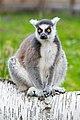 Lemur (36559486271).jpg