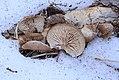 Lentinellus montanus 352754.jpg